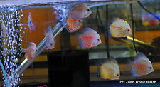 (3) Discus - Assorted, Small - Freshwater Tropical Fish - Assorted Discus Fish