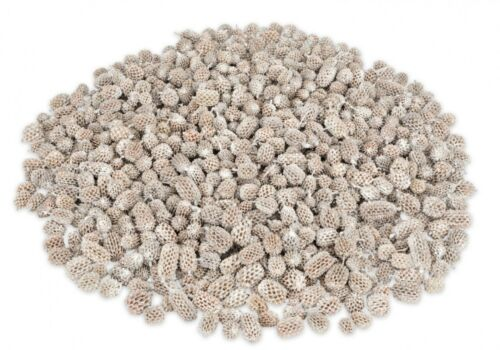 Nadeco ® kasuarinen Cônes Blanc 1 kgCasuarinablanche dekozapfenblanche Tannen