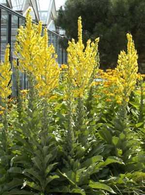 50 Seeds//graines Teloxys aristata