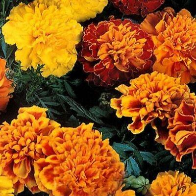 35 Annual American Eskimo Marigold Flower Seeds
