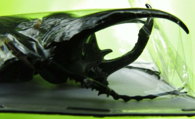 """Lot of 10 Huge Green Atlas Beetle Male Chalcosoma atlas keyboh 3"""" FAST FROM USA"""