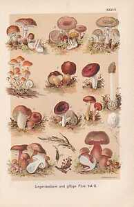 Giftpilze-Mutterkorn-Giftreizker-CHROMOLITHOGRAPHIE-um-1900-Satanspilz