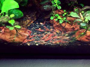 Details about 10+2 Red Cherry Shrimps Live Freshwater Shrimp Aquarium  Neocaridina Inverts RCS