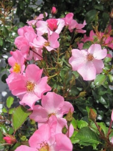 Kordes-Rose lachsrosa Rosa Fortuna® Beetrose Fortuna® Bodendeckerrose