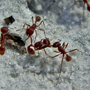 40 Live Red Harvester Ants For Ant Farm Fast Shipping Satisfaction Guaranted Ebay