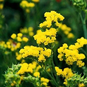 Statice-Seeds-Fortress-Yellow-250-Flower-Seeds-Garden-Starts-Nursery