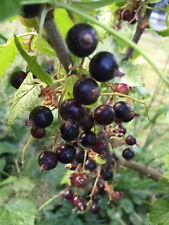 10+ Eastern European Black Currant Seeds TASTY BERRIES FOR GEMMOTHERAPY