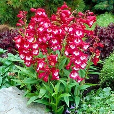 20+ Red/White Penstemon Hartwegii Flower Seeds / Perennial