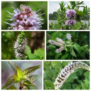 90 Mint Herbs Seeds Mentha 10 Kinds Beautiful Fragrant Decorative Garden Plants