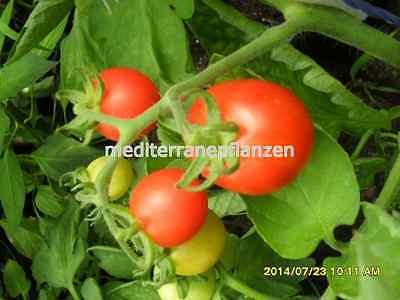 """samenfest von unserer Farm Ungarische Tomatensamen /""""Black Cherry/"""",ertragreich"""