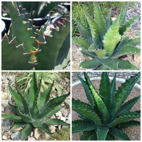 50 semi di Agave gentryi succulente,seed succulents