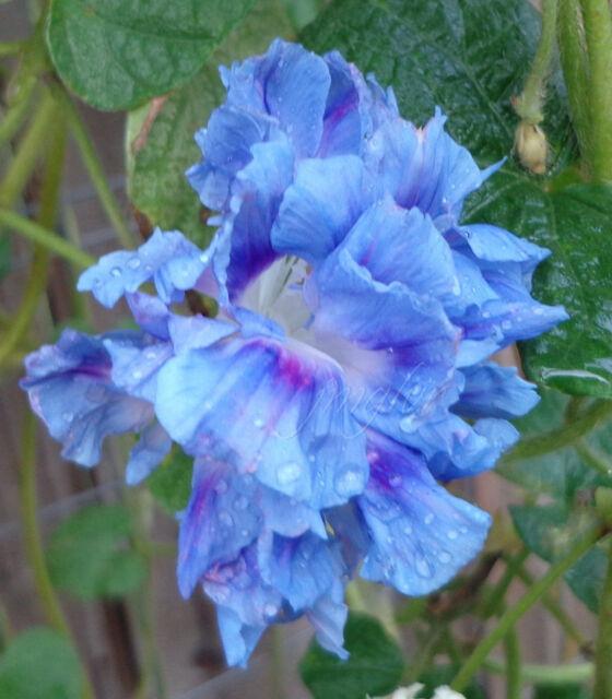 Feathered Morning Glory Pom pom HIGE 10 seeds purpurea i Jamie Lynn