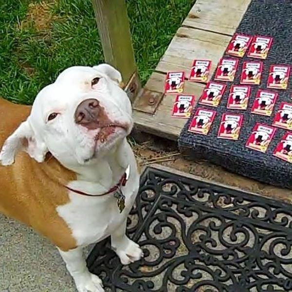 Pitbull Pit bull Terrier Dog Vinyl Car UV Coated Magnet 13125-26 Use on Locker