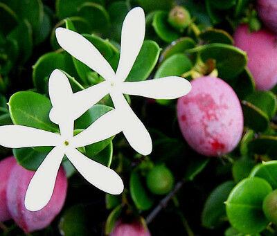 Beliebte Marke Natalpflaume Carissa Macrocarpa ,exotisch, Süß, Saftig, Pflaume, Duftende Blüten