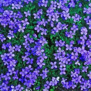Aubrieta Royal Blue Appx 500 seeds - Rock Garden / Border Rock Cress