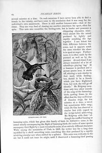 Original-Old-Antique-Print-Natural-History-1895-Humming-Bird-Nest-Picarian-19th