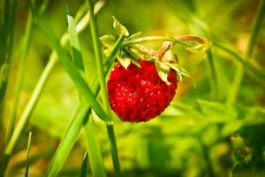 Saisons Fruits Parfumée Sucrée Quatre 250 GRAINES de FRAISE des 4
