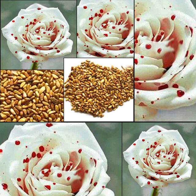 200pcs Rare White Drop Blood Rose Seeds Home Garden Flower Plants Seeds Hot