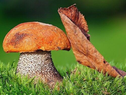 Orange Tasse Boletus Mushroom Leccinum Grain sec mycélium 10 g ou 30 G Ukraine