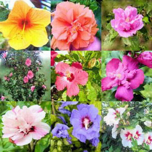 Hibiscus Rose Of Sharon Syriacus 50 Seeds Mixed Colors Tree Bush