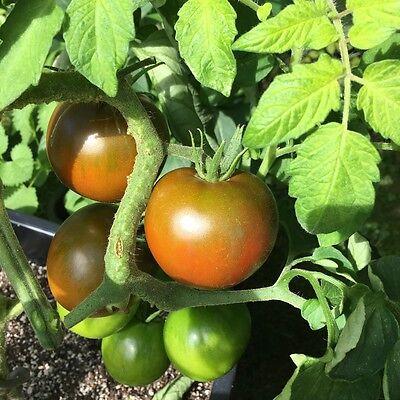 "TOMATE  /""Roma/"" Stab-Tomate würzig,süß lecker 50 Sorten im SHOP ab 1,00 €"