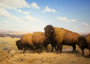 A1-Wild-Bison-Herd-Poster-Art-Print-60-x-90cm-180gsm-North-America-Gift-16413