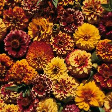Flower Seed: Aztec Sunset Zinnia Seeds 40+ Seeds  Fresh Seed  FREE SHIPPING