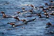 541055 Snares Island Penguins A4 Photo Print