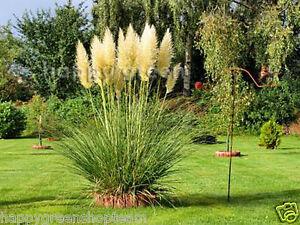 PAMPAS-GRASS-WHITE-FEATHER-200-seeds-Cortaderia-selloana-PERENNIAL