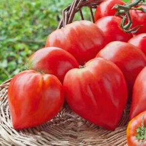 20 Graines De Tomate Coeur de Boeuf Méthode Bio