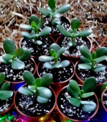 1 Rooted  Jade Plant Money Tree-In a Plant Pot-Delivered-House Plants