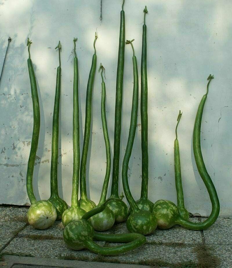 Calabash Extra Long Dipper - 5+ seeds - Semillas - Graines - Samen