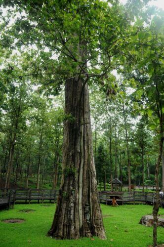 New!!!200 seeds teak tectona gradis hard wood Thai popular high tree rare unigue