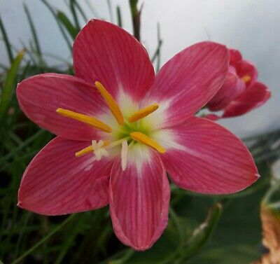 Zephyranthes candida /'Major/' 3 flowering size bulbs