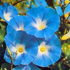 Image Is Loading 50 Heavenly Blue Morning Glory Vine Imopea Tricolor