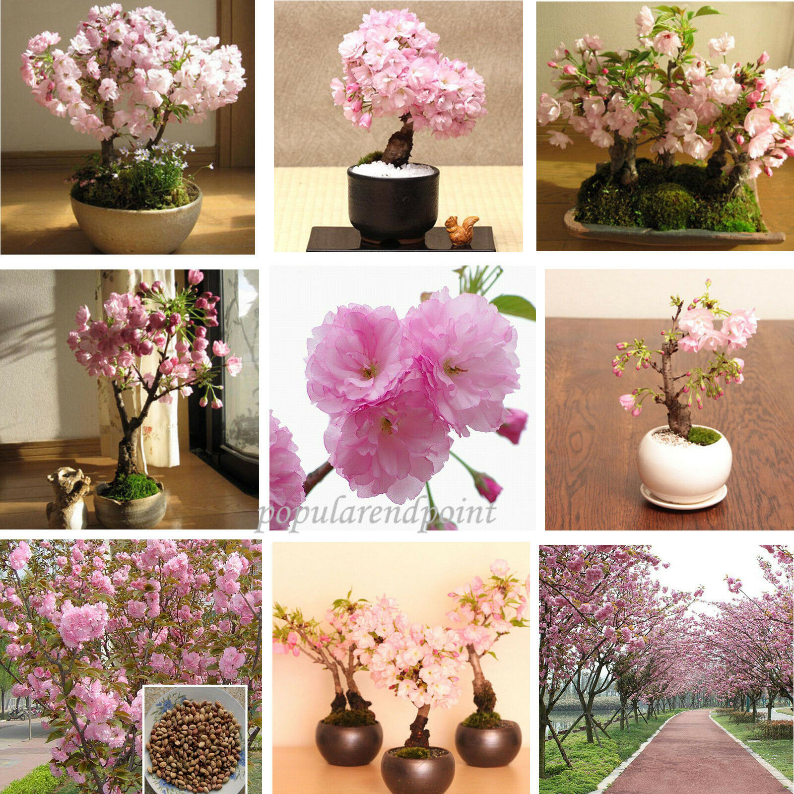 100 Japanese Cherry Blossom Tree Seed Bonsai Blossoms Sakura Flower Seeds Comb For Sale Online