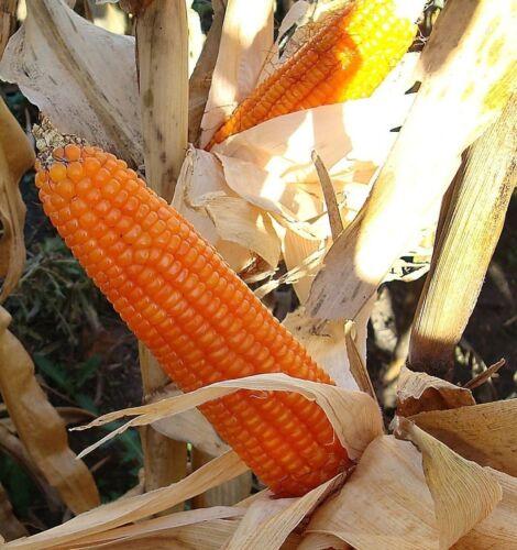 Popcorn Mix 50 seeds Grow you own popcorn Ornamental  CombSH G23
