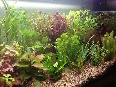 100 Live Aquarium Aquatic Tropical Fish Tank Plants SUPERB QUALITY AND VALUE