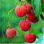 Litchi Nutritious Fresh Fuit Delicious Summer Bonsai Garden Home Tree 3 Pcs