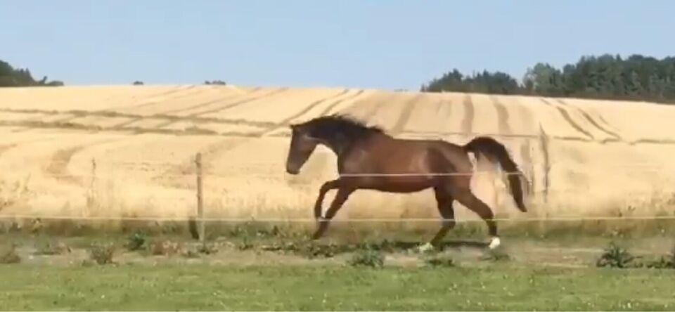 Dansk Varmblod, hoppe, 4 år