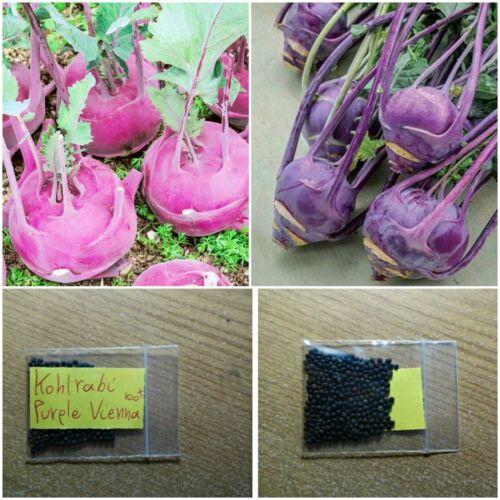 Kohlrabi /'/'Purple Vienna/'/' ~100 Crispy Top Quality Seeds Round Kohlrabi