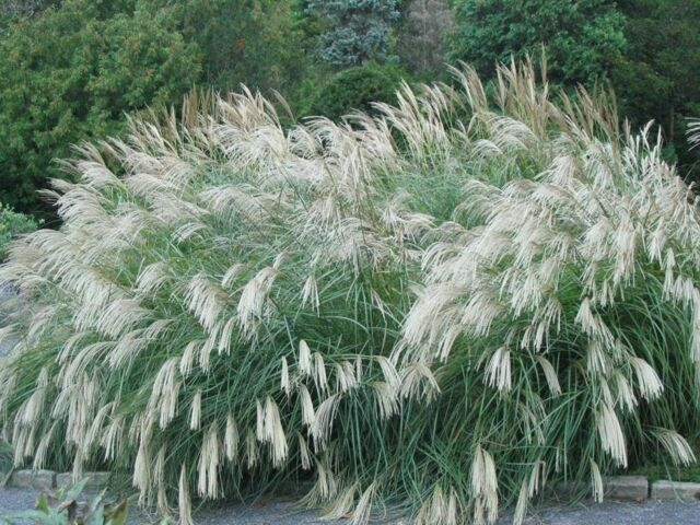 MAIDEN HAIR GRASS * Miscanthus Sinensis 'Silberspinne' * SILVER EULALIA SEED