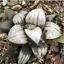 Haworthia-Succulent-plants-potted-Plants-Home-Garden-Bonsai-Garden-Decor thumbnail 2