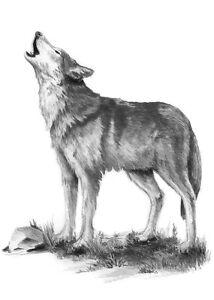 Details Zu Sketching Skizzieren Malen Mit Bleistift Wolf Größe 18 X 11 Cm