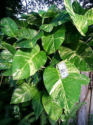 Cuttings Giant Pothos philodendron Money Tree house plant BUY 2 GET 2 FREE