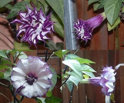FRESH Datura Metel /'Fastuosa/' Blackcurrant Swirl Devil/'s Trumpet Seeds 200