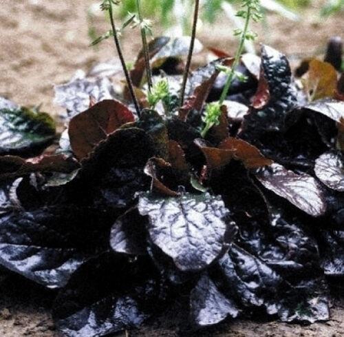 Salvia lyrata Purple Knockout lyre-leaf sage 80 seeds