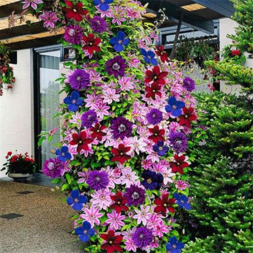 50pcs multicolor mixed clematis climbing plants seeds flower home garden decorER