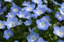 BABY BLUE EYES Nemophila Menziesii 6,000 Bulk Seeds