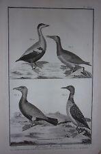 GRAVURE ORIGINALE SUR CUIVRE  DE MARTINET 1768 GRAND PLONGEON TACHETE EIDER MALE